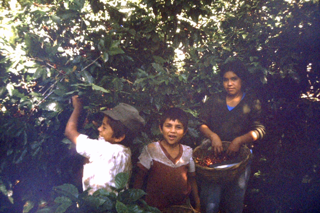 07 - kids picking coffee